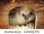 cute hedgehog baby in home | Shutterstock . vector #215036791