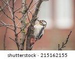 photo of a woodpecker on a tree ... | Shutterstock . vector #215162155