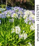 Small photo of Agapanthus africanus (African lily) is a native of the Cape of Good Hope in South Africa