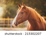 Stock photo horse on nature portrait of a horse brown horse 215302207