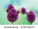 Bees On Allium Sphaerocephalon...