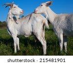 a white goats on grass... | Shutterstock . vector #215481901
