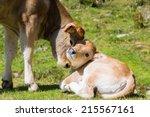 Brown Cow Through The Catalan...