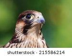 Peregrine Falcon In Detail