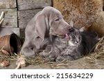 Stock photo weimaraner puppy and kitten cat and dog 215634229