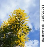 Small photo of Acacia dealbata (known as silver wattle, blue wattle or mimosa)