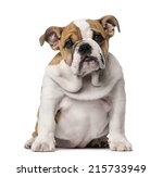 English Bulldog Puppy  3 Month...