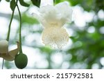 flower of baobab | Shutterstock . vector #215792581