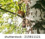 Squirrel Sits On Birch Branch...