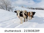 Cows In The Snowy Mountains ...