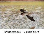 Egyptian Goose Flying Over...