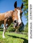 Bay Or Brown Horse  Equus Feru...