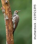 A Female Red Shafted Flicker...