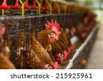 eggs chickens on the local farm | Shutterstock . vector #215925961