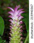 siam tulip flowers | Shutterstock . vector #215940367