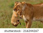 Stock photo lioness mother carries her baby to a new safe place in masai mara national reserve kenya 216244267