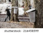 Forest Of Maple On Trees In...