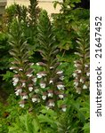Small photo of Acanthus mollis