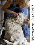 Young Farmer Shearing Sheep Fo...