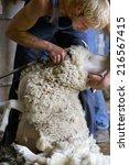 Young Farmer Shearing Sheep Fo...