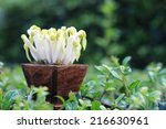 Bean Sprout In A Wooden Pot