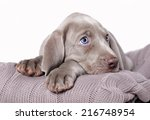 Stock photo weimaraner puppy 216748954