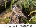 a tree sparrow perching on an... | Shutterstock . vector #216788281