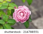 Beautiful pink rose and green leafs with water drops in the morning - stock photo