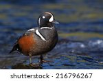 Harlequin Duck Standing In The...
