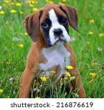 Sad  Puppy Boxer In Spring Grass