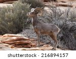Desert Bighorn Sheep In Zion...