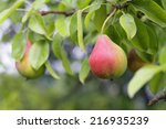 Pear Fruits In Garden.