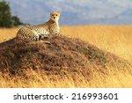 a cheetah  acinonyx jubatus  on ... | Shutterstock . vector #216993601