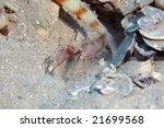Small photo of red-striped goby shrimp (alpheus ochrostriatus)