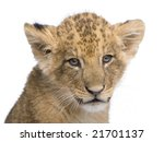 Lion Cub  7 Weeks  In Front Of...