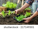 Farmer Planting Young Seedlings ...