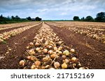 Onion After Harvest In Line On...