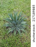 Small photo of Smooth Century Plant or Agave desmettiana