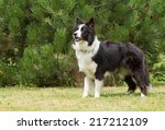 Border Collie Is Standing On...