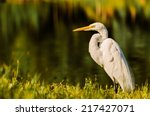 A Big Egret Land And Stares...