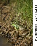 Small photo of Sideways view of green-face amphibian frog, an American Bullfrog, suns itself on muddy edge of water/Bullfrog on Muddy Edge of Water/Big aquatic bullfrog with green face sits sideways on muddy bank