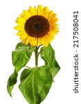 Sunflower Bloom Isolated On...