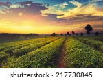 tea plantation in chiangrai ... | Shutterstock . vector #217730845