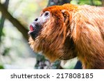 Alpha Male Of A Red Howler...