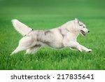 Jumping Siberian Husky On Green ...