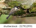 willow tit feeding on a peanut | Shutterstock . vector #217912951