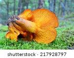 Omphalotus Olearius