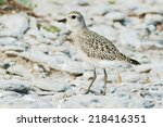 Small photo of American Golden Plover standing on a gravel beach.
