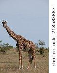 giraffe in the national park... | Shutterstock . vector #218588887