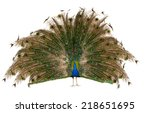 Male Indian Peafowl Over White